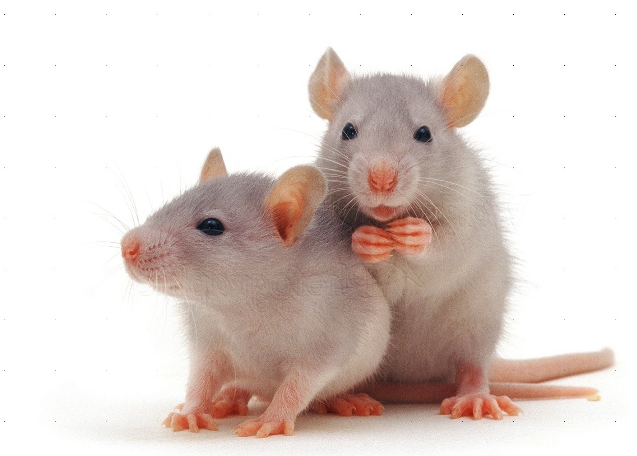 pictures of white rats