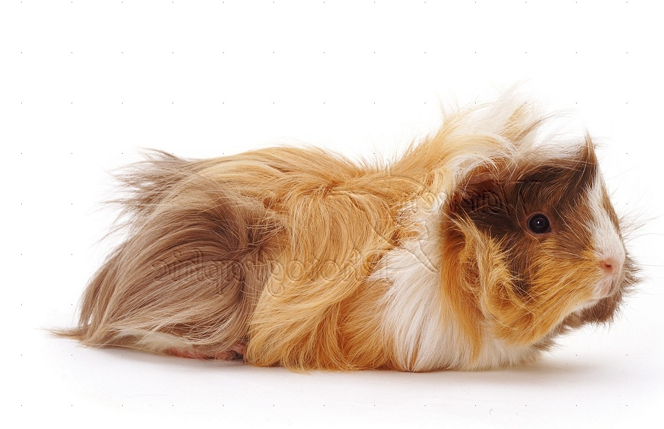 Young Abyssinian rosette Guinea pig photo - WP13883