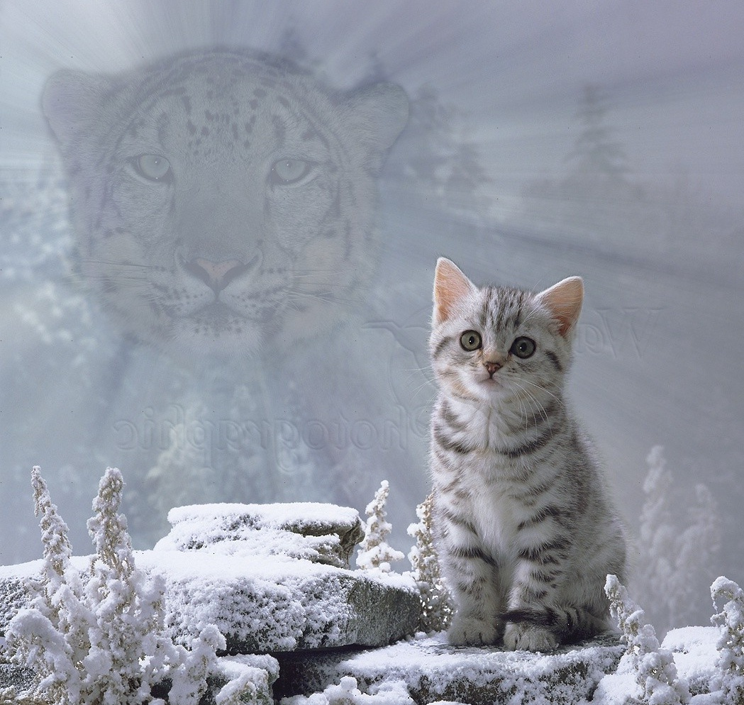 Spirit of the cat - Snow Leopard photo - WP00021