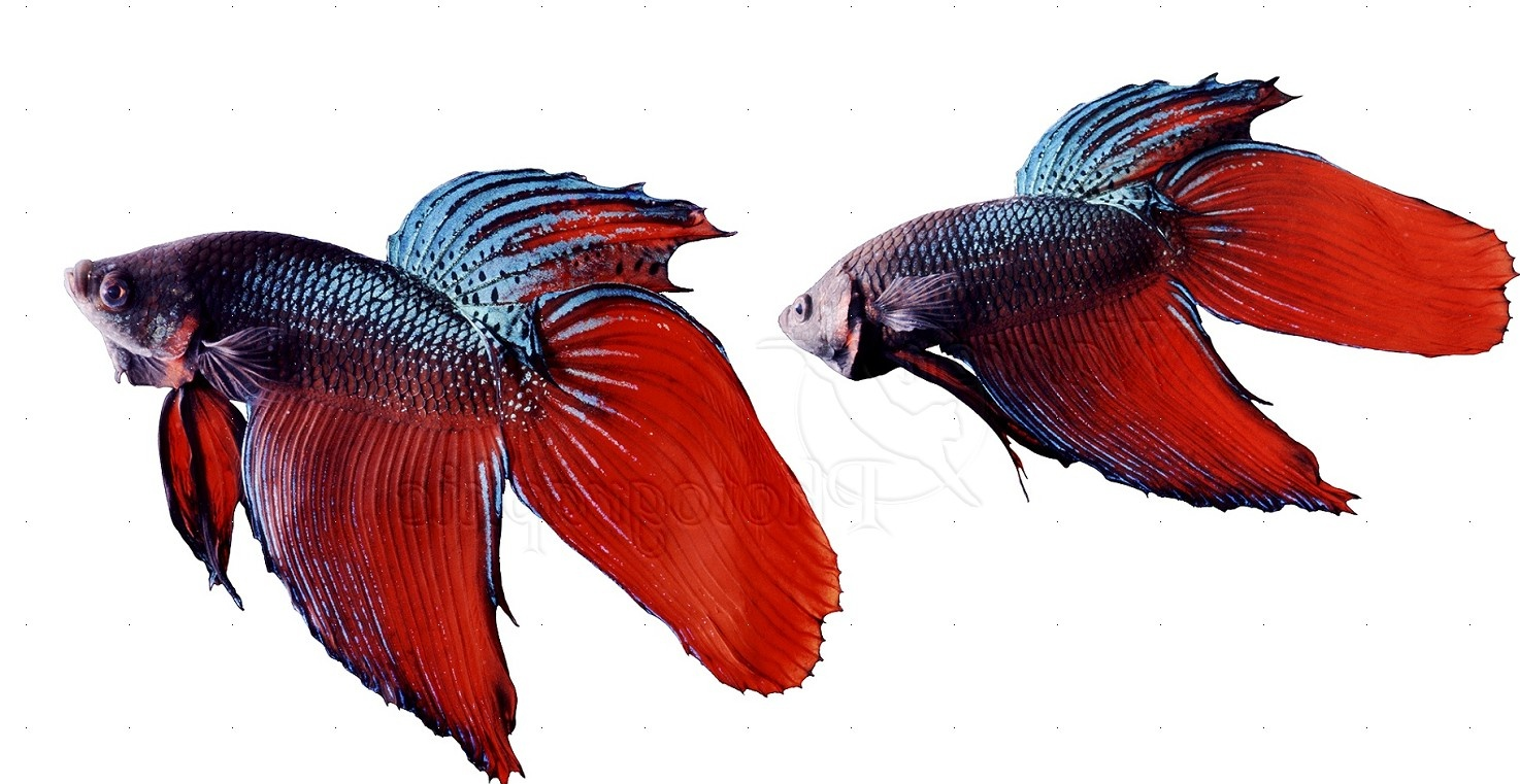 WP04838 Siamese Fighting Fish ( Betta splendens ) males displaying