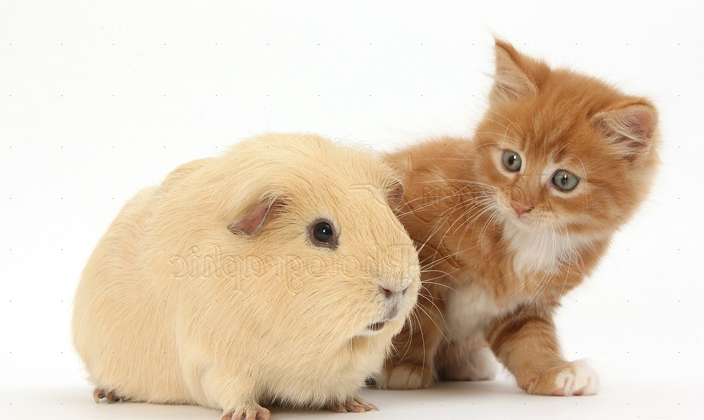 ... : Ginger kitten, 7 weeks old, and yellow Guinea pig photo - WP31815