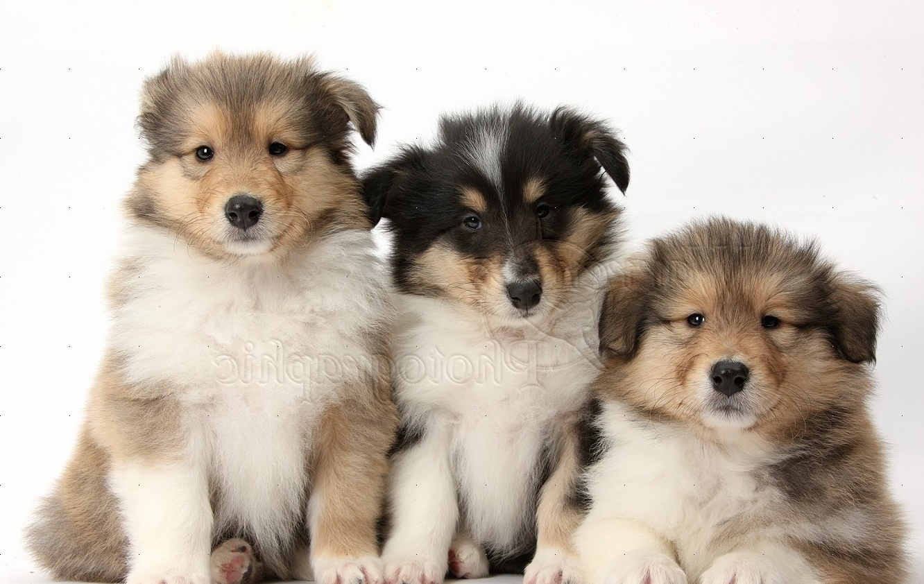 WP38062 Three Rough Collie pups, 7 weeks old.