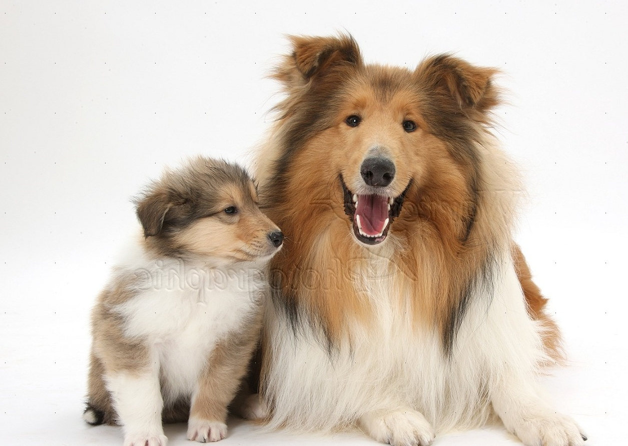WP38066 Sable Rough Collie dog, and puppy, 7 weeks old.