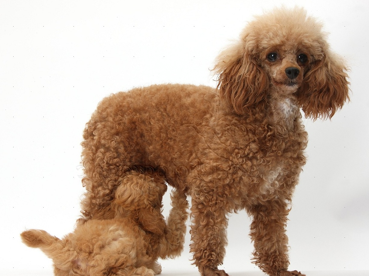 Dogs: Red Toy Poodle puppy suckling its mother photo - WP38703