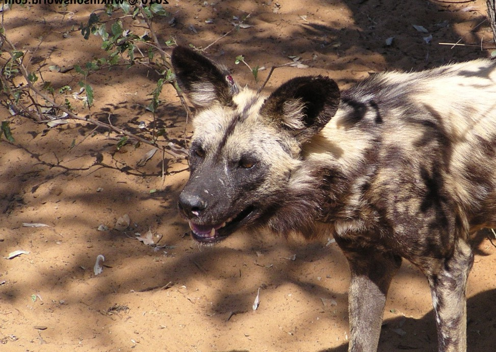 African Wild Dogs – a rare treat | Wilkinson's World