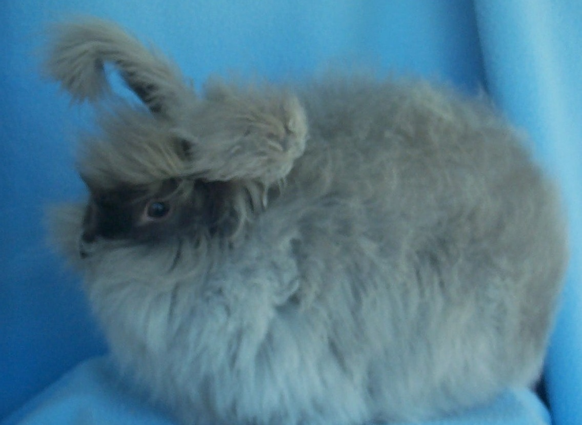 RABBIT BREEDS IN AUSTRALIA AND THEIR COLOURS