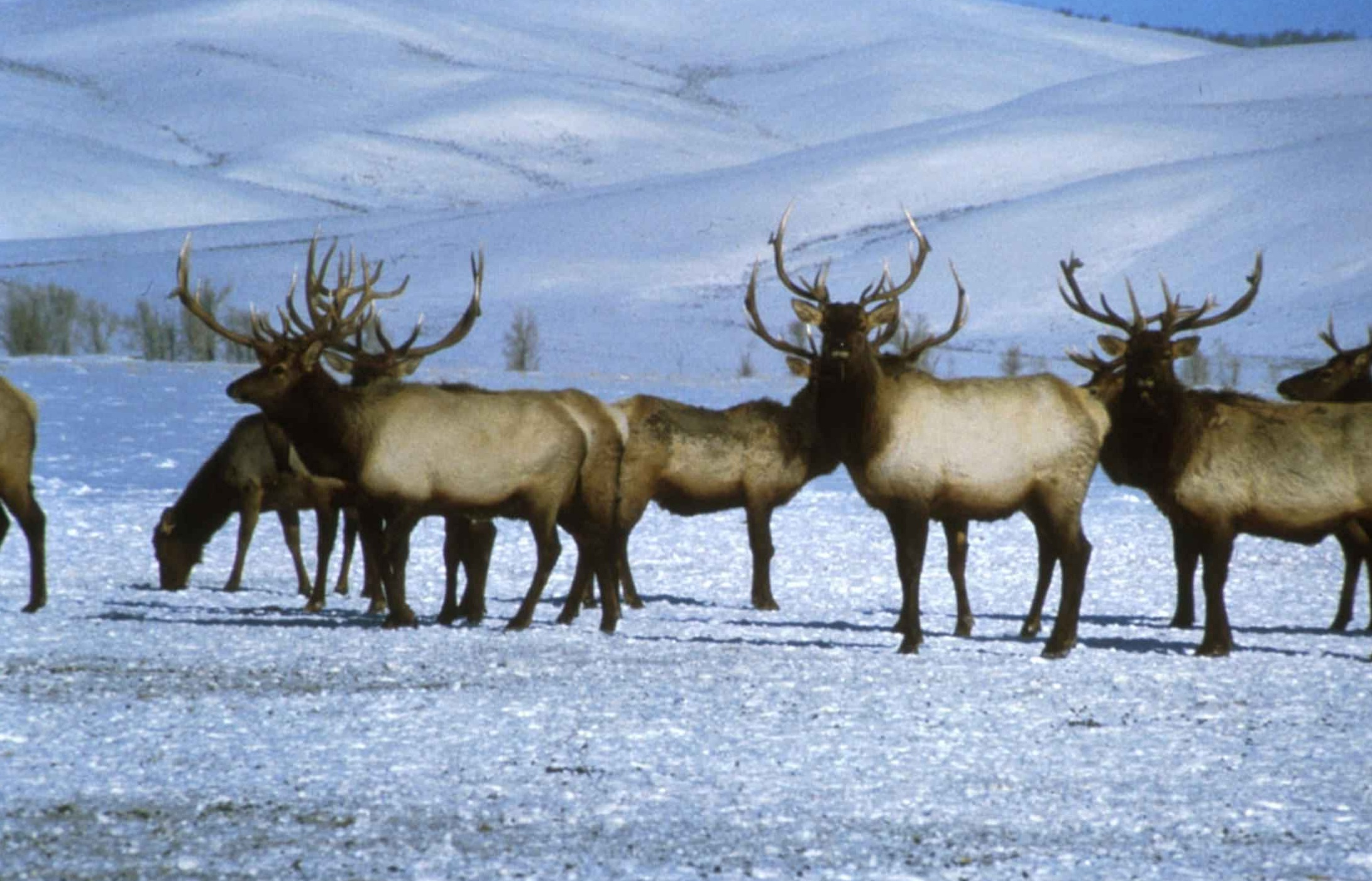 Bull elks on snow royalty free stock picture is in public domain .