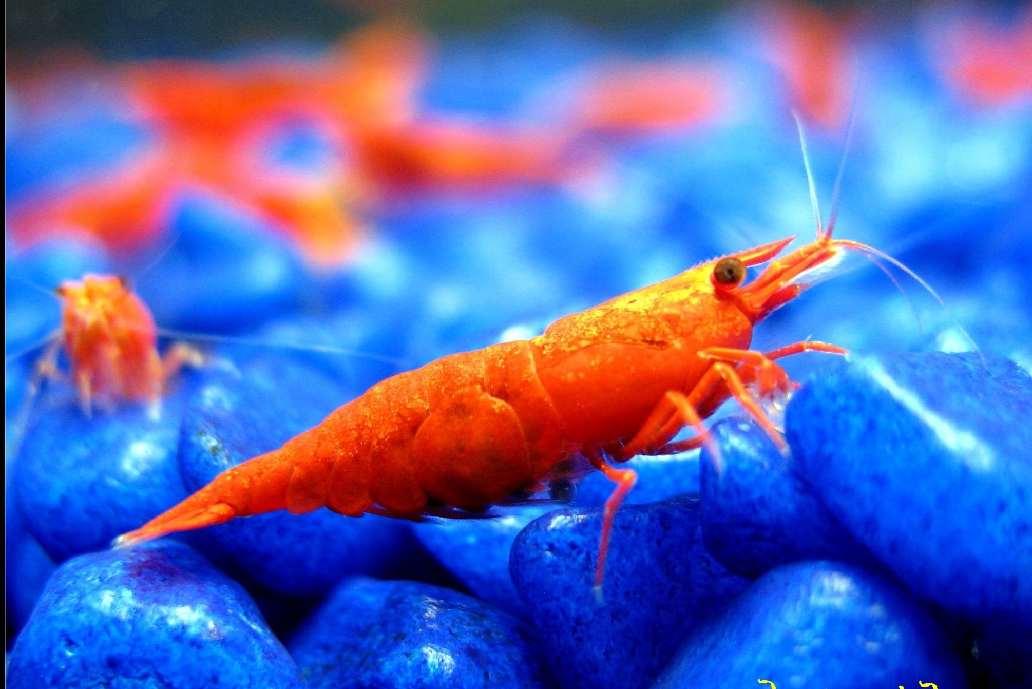pictures of live shrimp on animal picture society