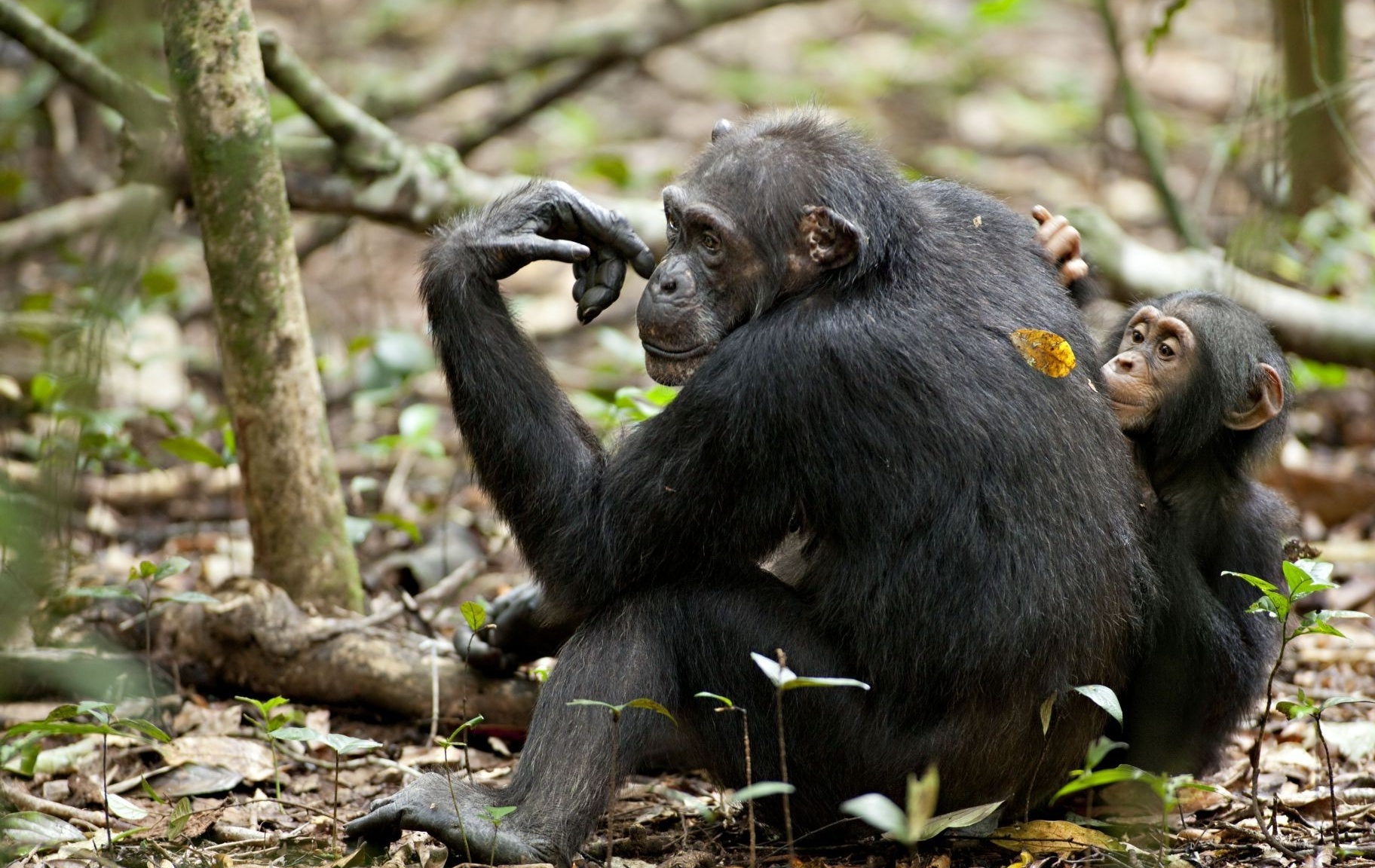 Chimpanzee Picture 31