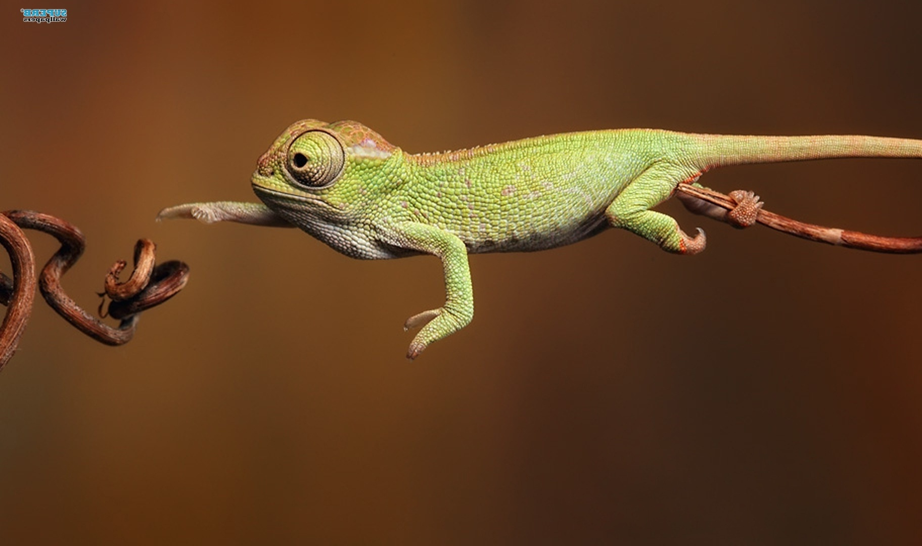 Chameleon wallpaper - Animal wallpapers - #7283