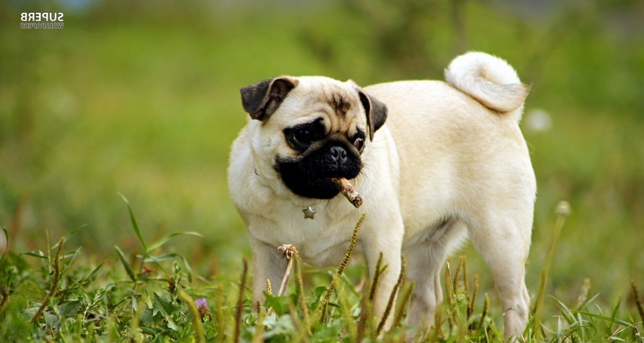Pug wallpaper - Animal wallpapers - #18051