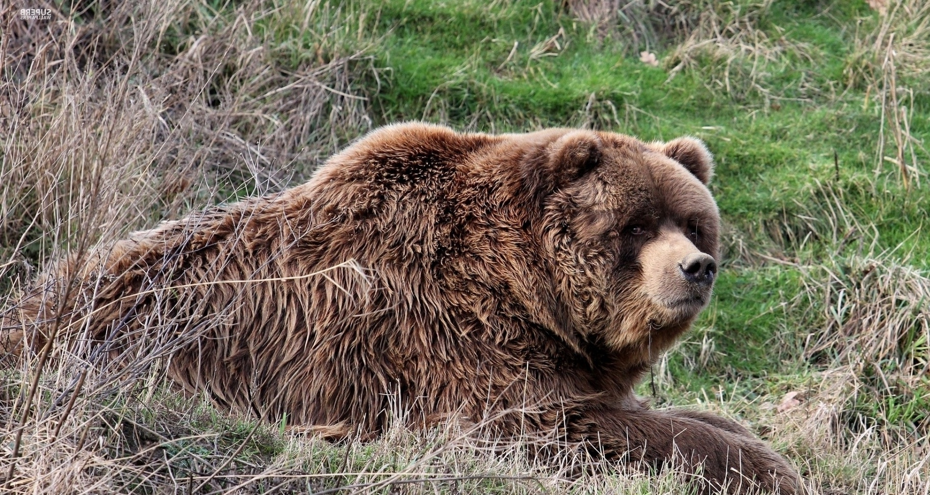 Brown bear wallpaper - Animal wallpapers - #45445