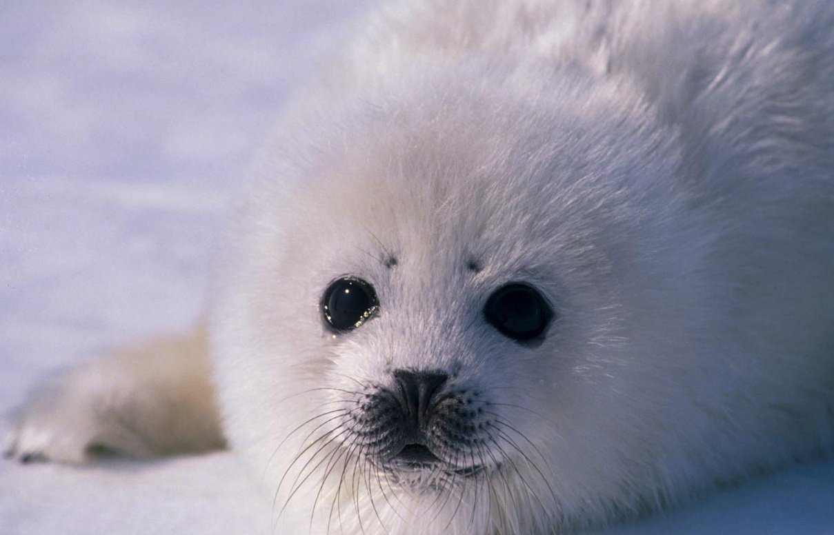 ... Opposing the Canadian Harp Seal Hunt, and More Ideas - Harpseals.org