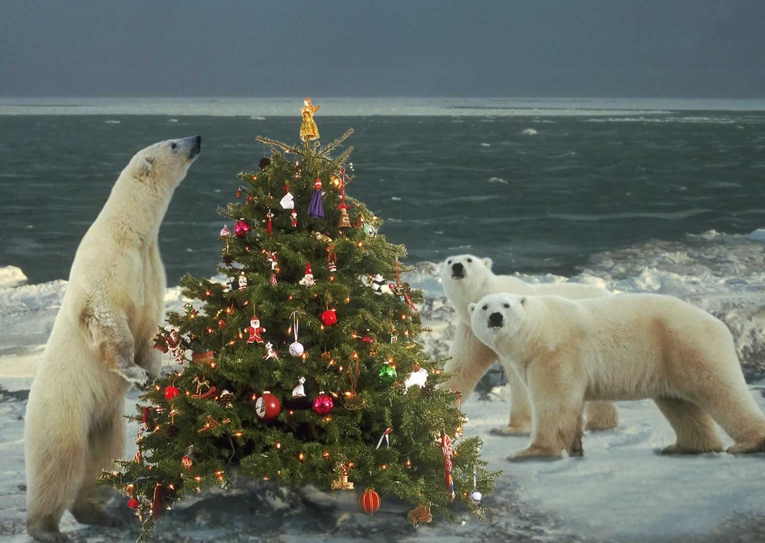 Polar Bears Wild About Christmas - Christmas Animals Wallpaper Image