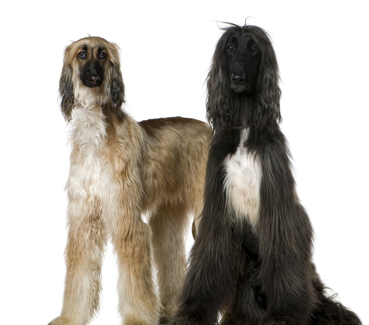Afghan Hound | Dog Breed Gallery
