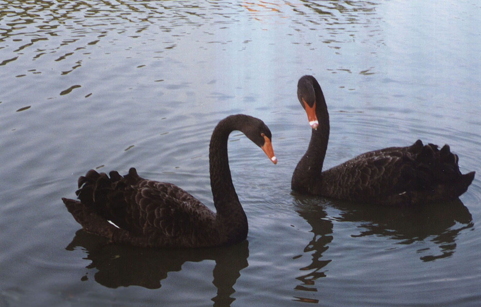 pictures of black swans