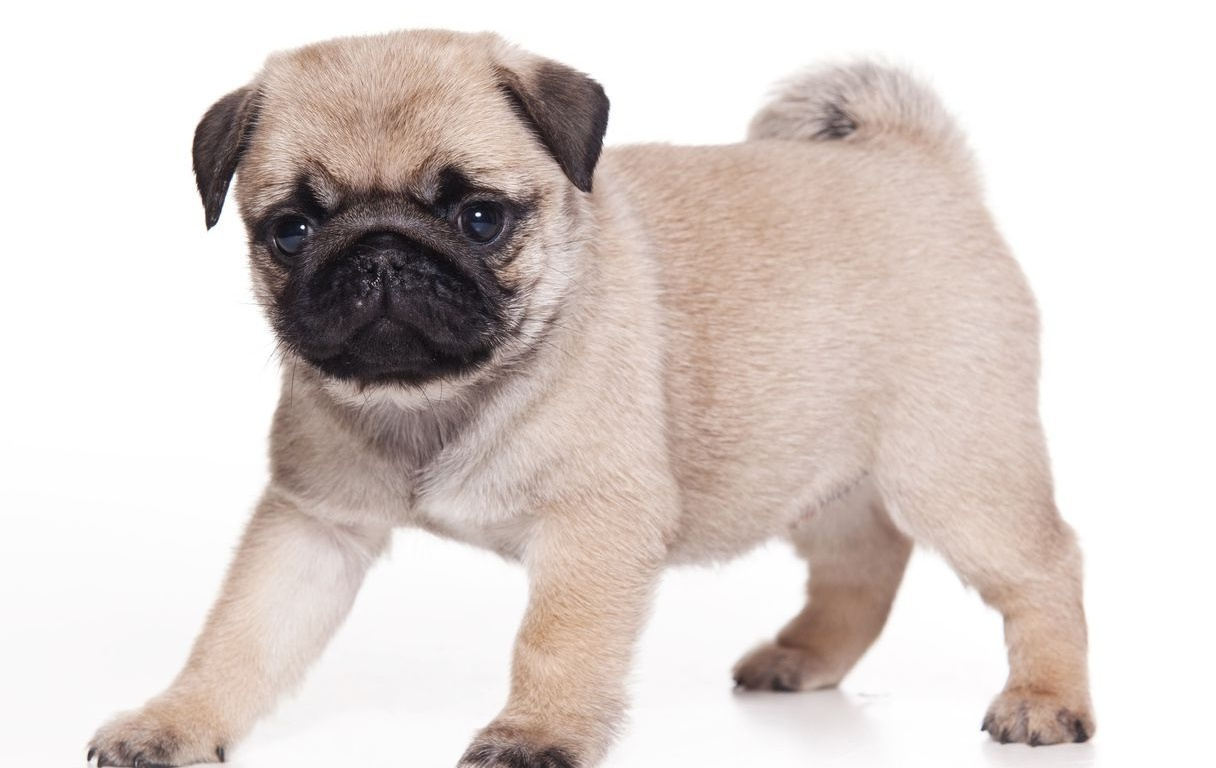 Info : Now browse and download Pug Dog HD Wallpapers latest widescreen ...