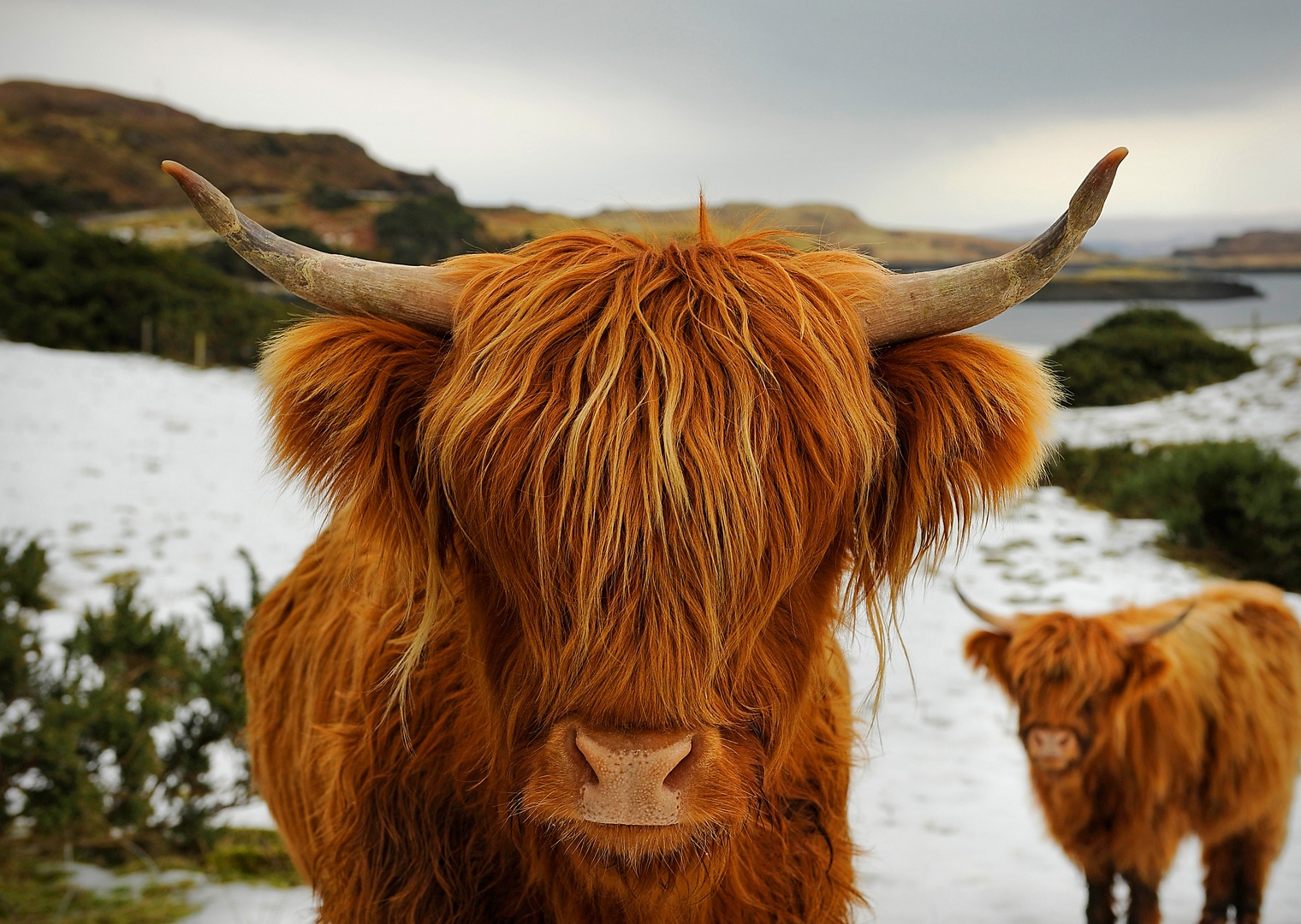 Highland Cattle Picture – Animal Wallpaper - National Geographic ...