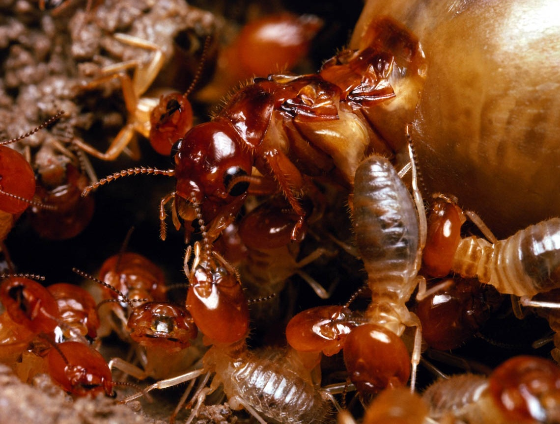 Amazing Microsocieties: Ants vs. Termites - WebEcoist