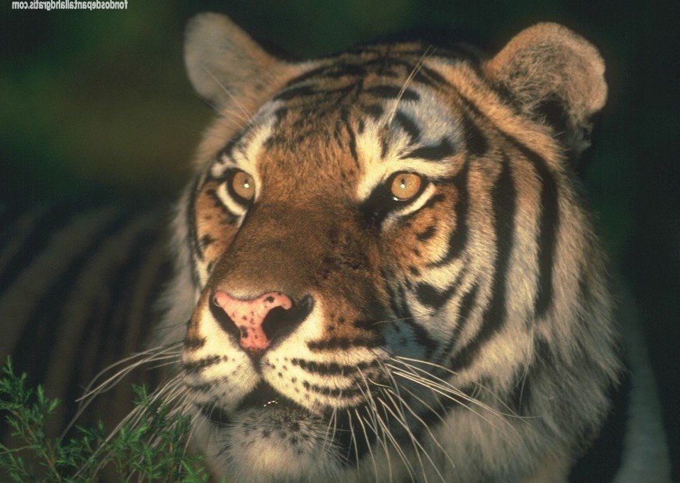 Descargar imagen 054 scary tiger wallpaper animal hd widescreen Gratis ...