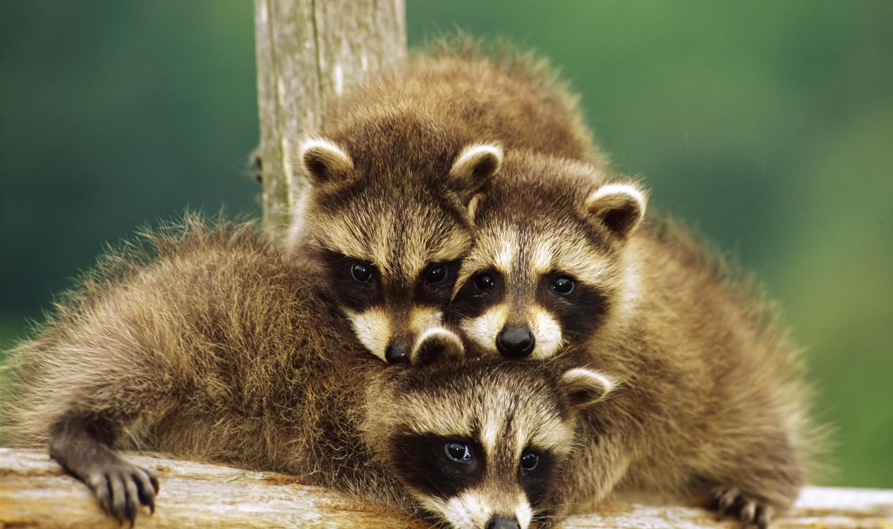 pictures of baby raccoons