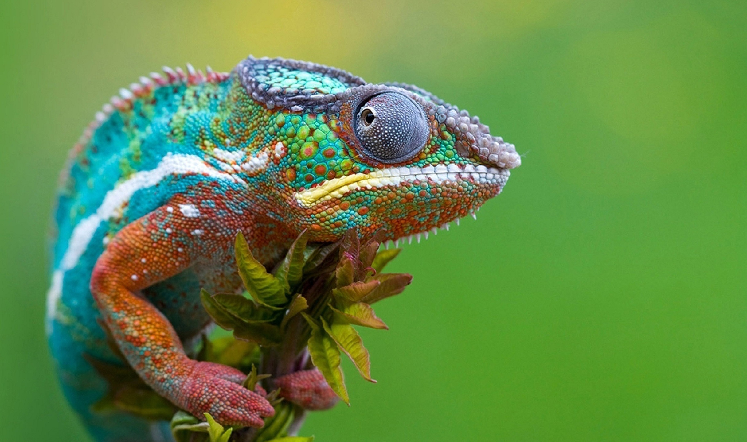 Colored Chameleon Wallpapers Pictures Photos Images