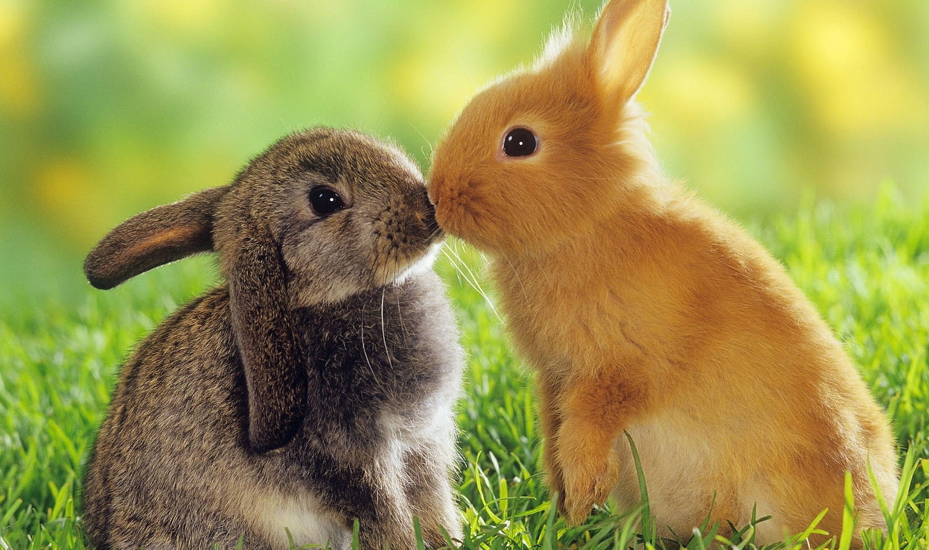 Rabbits Kiss Wallpapers Pictures Photos Images
