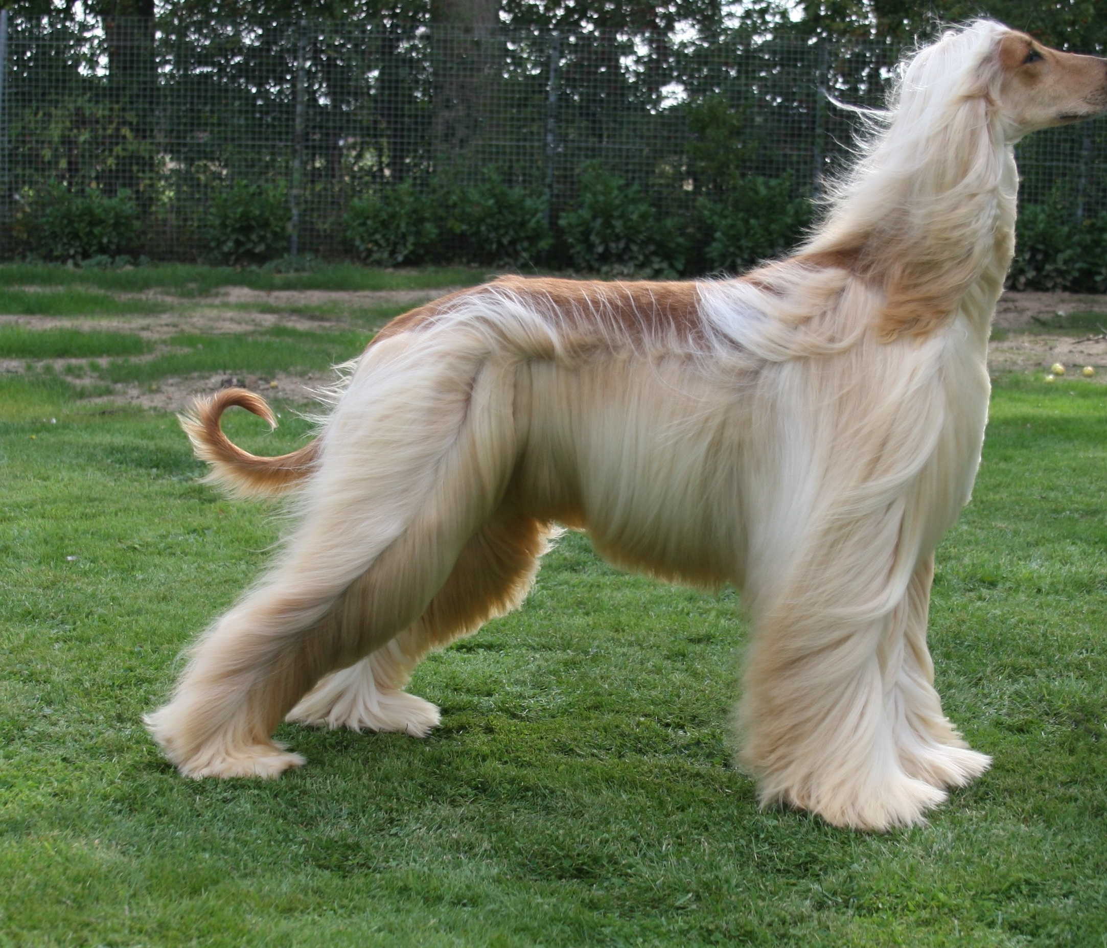 Afghan Hound in the wind photo and wallpaper. Beautiful Afghan Hound ...