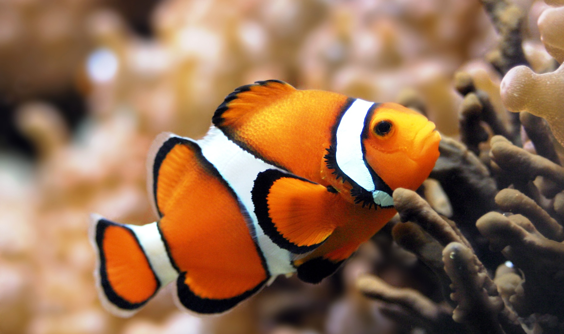 pictures of clown fish