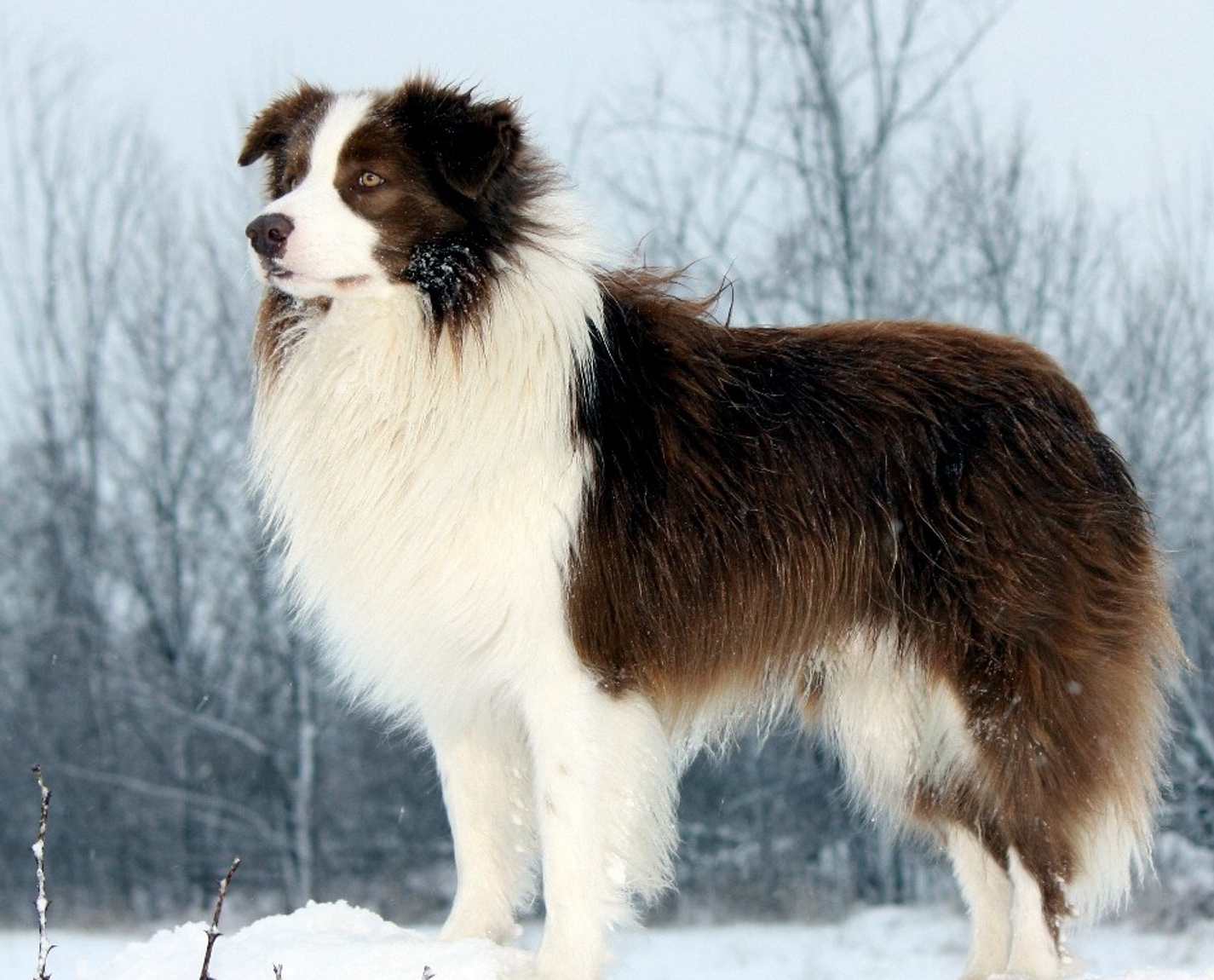 Border Collie winter photo and wallpaper. Beautiful Cute Border Collie ...