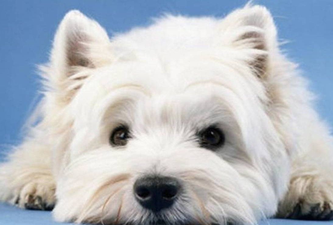 pictures of west highland terriers
