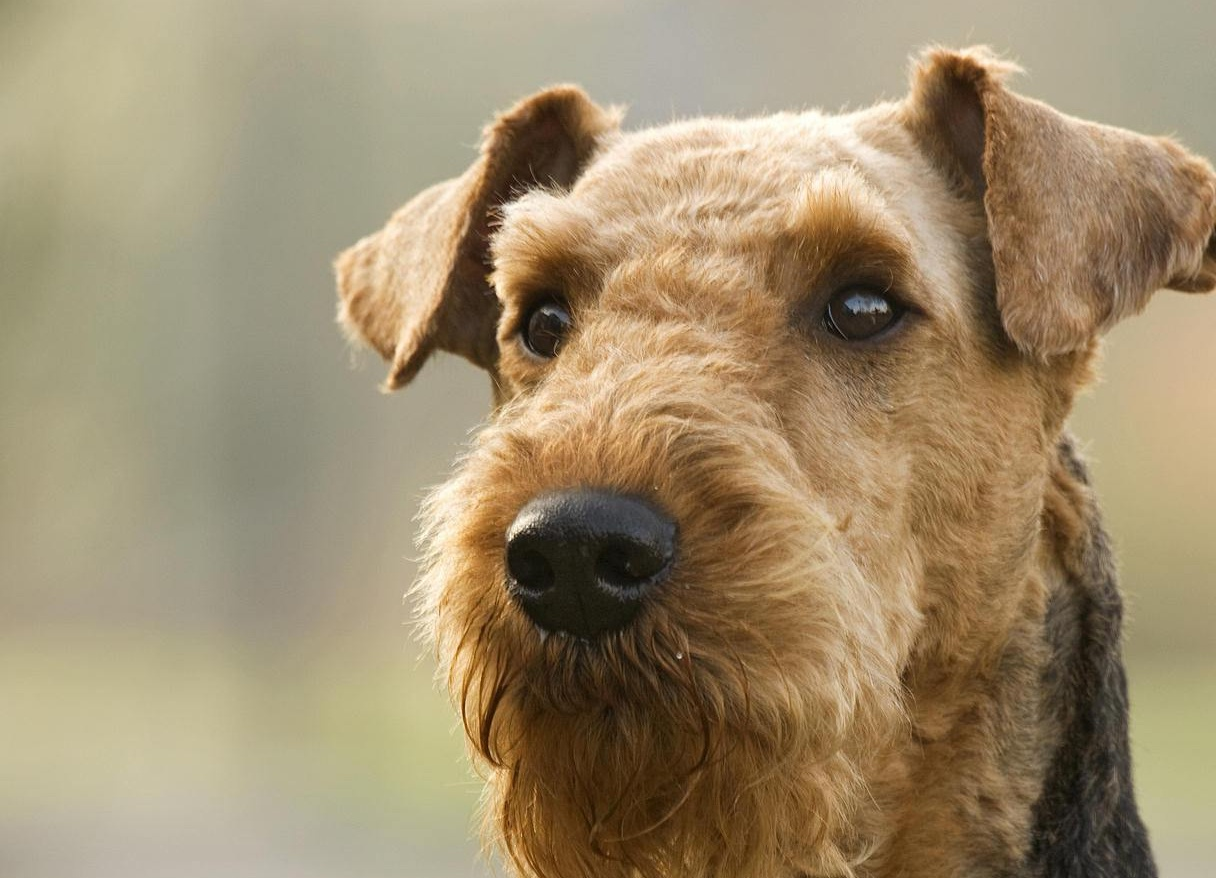 Airedale Terrier photo and wallpaper. Beautiful Thoughtful Airedale ...