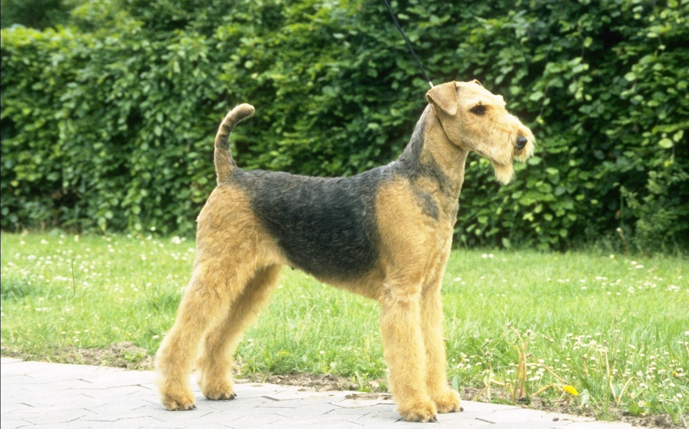 Airedale Terrier in the rack photo and wallpaper. Beautiful Airedale ...