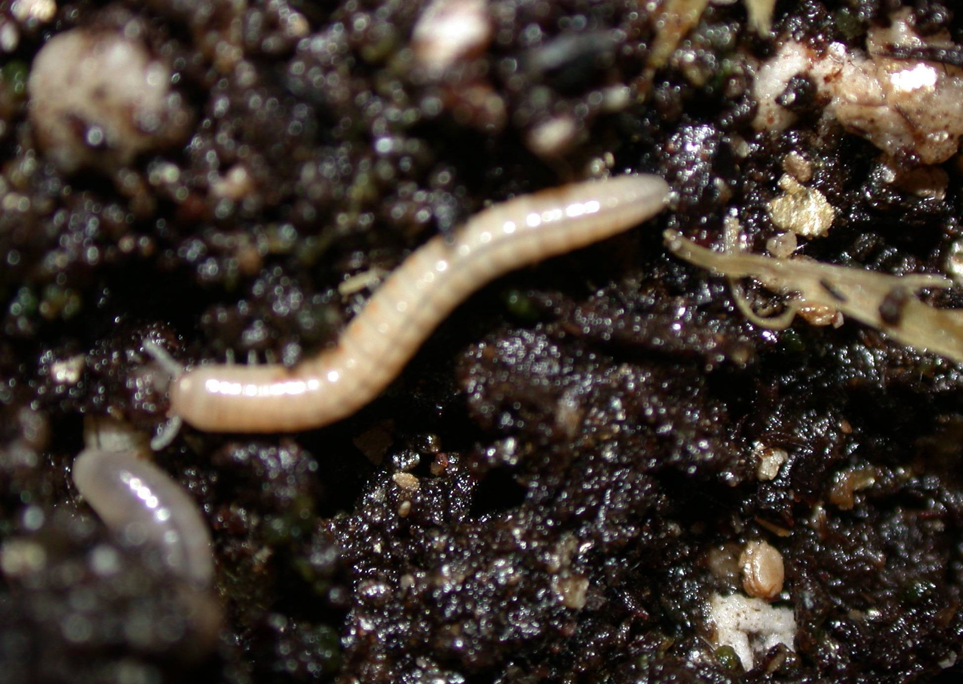 millipede pictures
