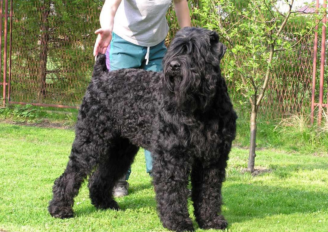 Photo Black Russian Terrier (Dog standard) (Black Russian Terrier)